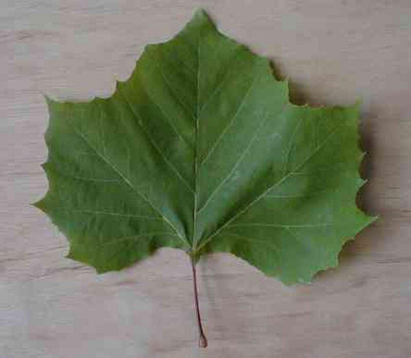 Platanus occidentalisPlatanus Occidentalis Leaf